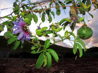 slowfood: Maracujá do mato – wilde Passionsfrucht