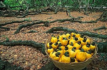 Cashew – Die Scheinfrucht mit Nuss